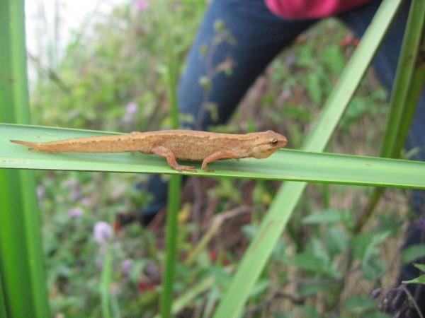 slalamandertje